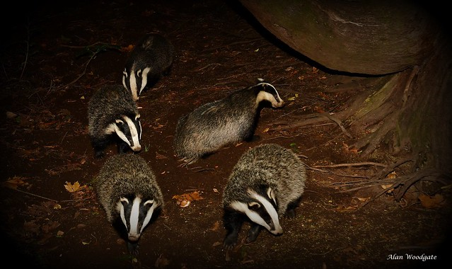 Badgers - the cubs 2018 and 2020