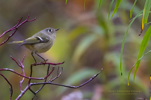 Ruby_Crowned_Kinglet_WEB_2U6A1683