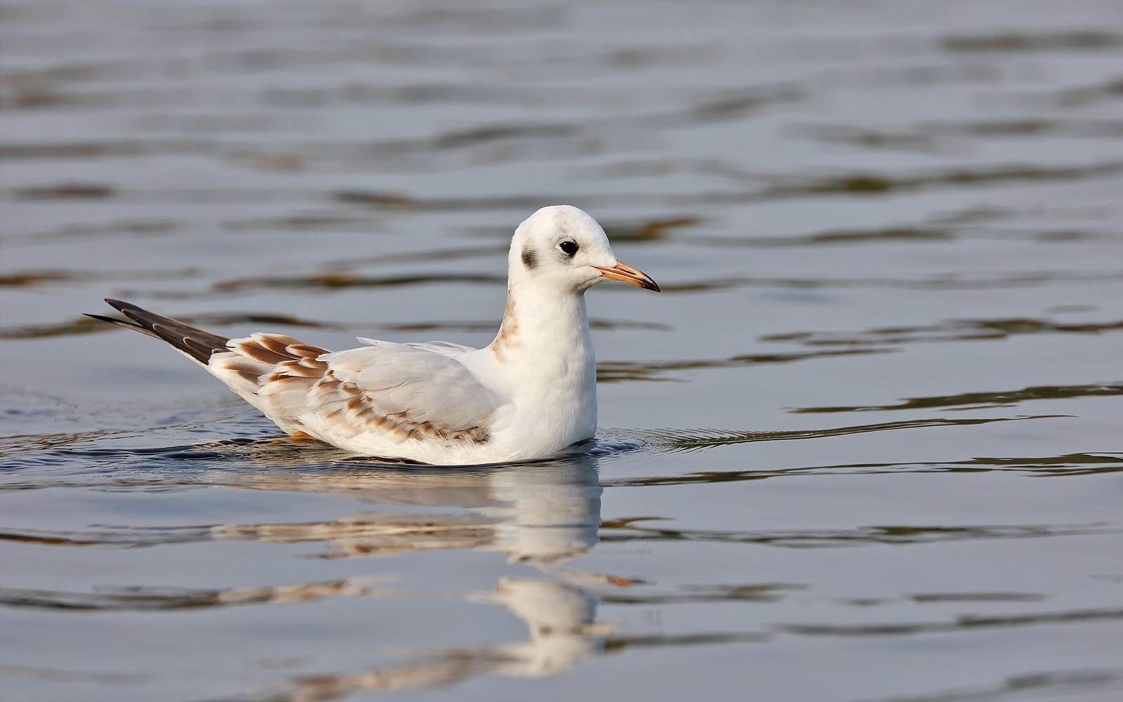 Black-headed Gull - 1st winter