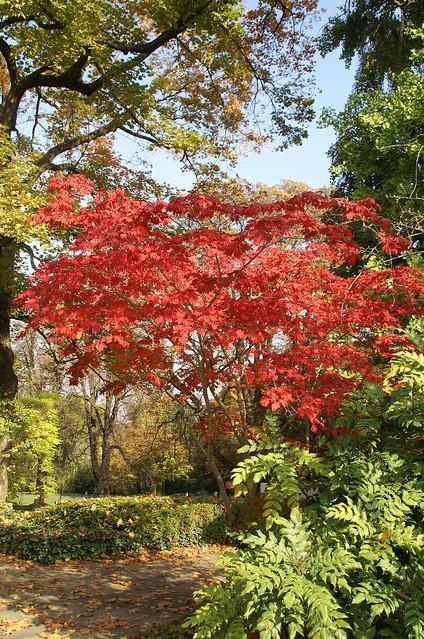 Ahorn, eisenhutblättriger japanischer - Japanese maple (Acer aconilifolium)
