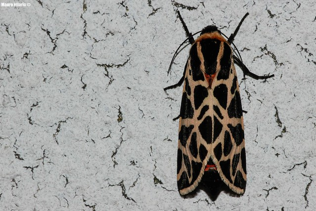 Moth or Leopard?