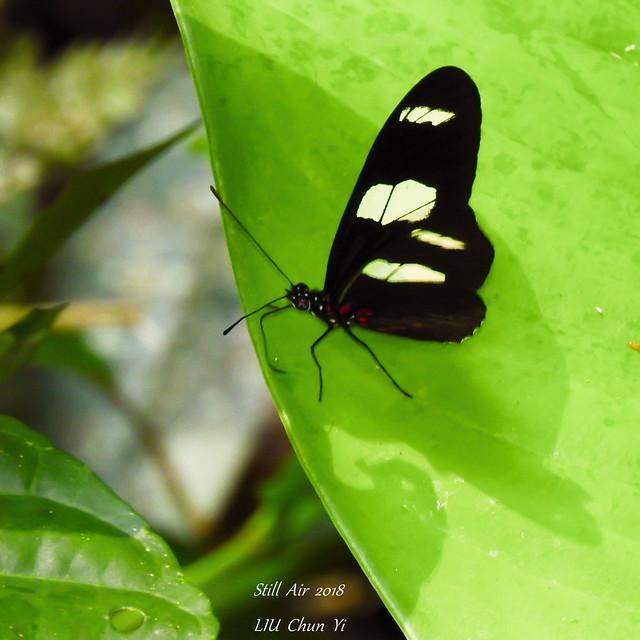 Heliconius sara (Sara Longwing) (B00559, EC00226)