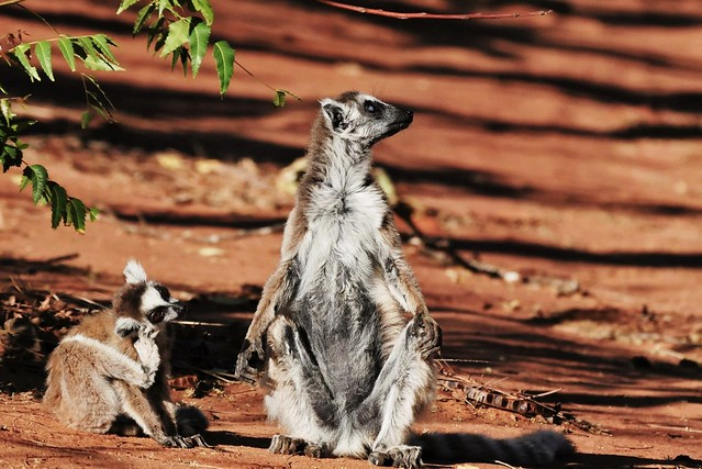 Ring-tailed Lemur Mother and Child (Lemur catta)