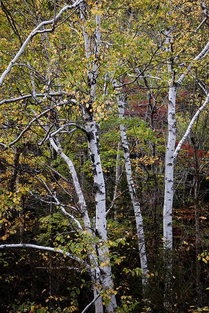 Birch Trees, New Hamphsire.