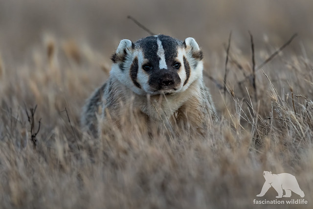 Badger Portrait