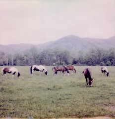 Polaroid Week Day Three - Smoky Mountain Horses