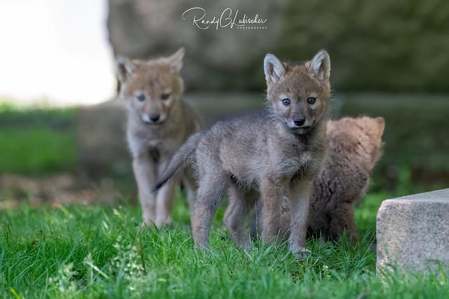 Eastern Coyote - Canis latrans var   2020 - 15 [EXPLORED]