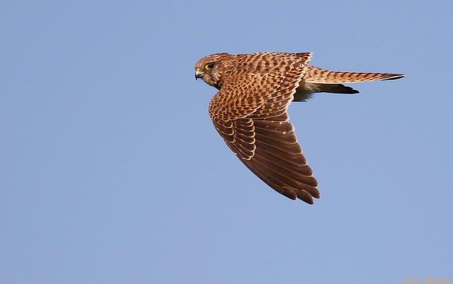 Peneireiro-vulgar | Common kestrel (Falco tinnunculus)