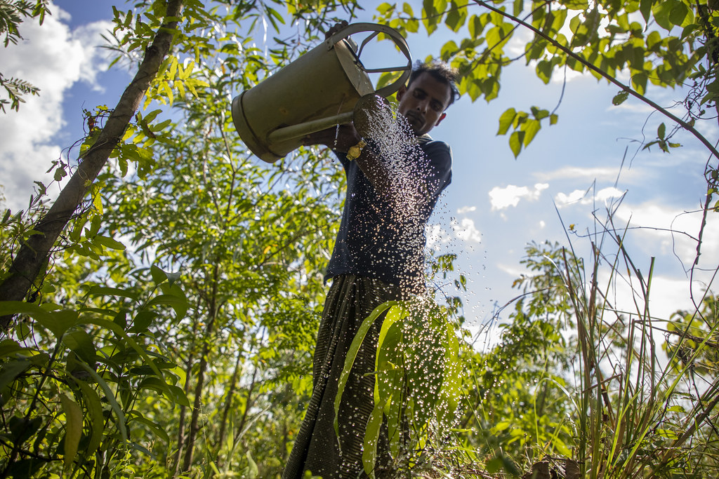 FAO and Rohingya refugees restore forests in and around once barren camps
