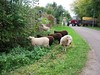 The sheep did not want to go on the trailer and ran away | October 17, 2020 | Bornhöved - Schleswig-Holstein - Germany