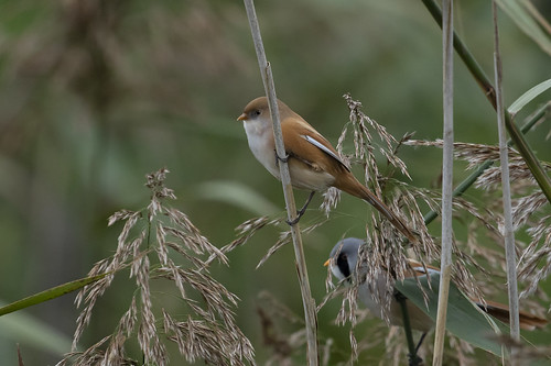 beardedtit wildlife nature