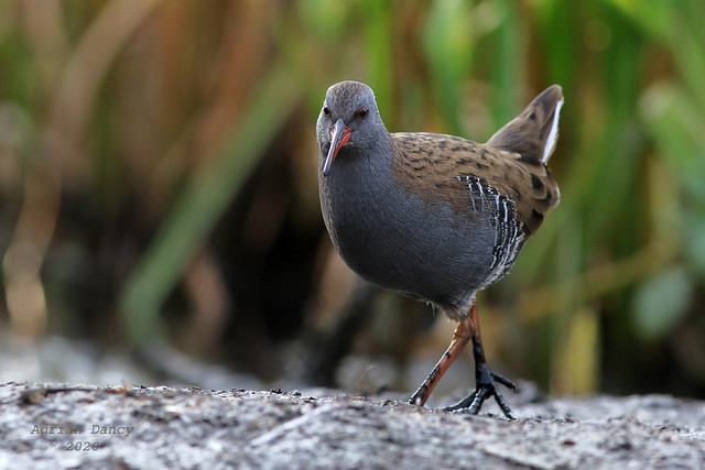 9P1A4851 Water Rail (Rallus aquaticus) Greater Manchester