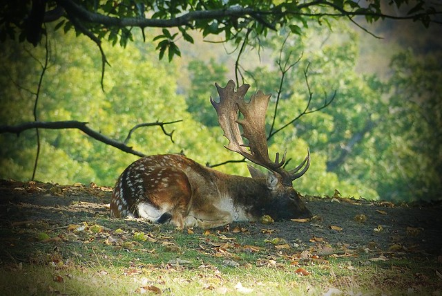 Taking a rest - Rutting is hard work