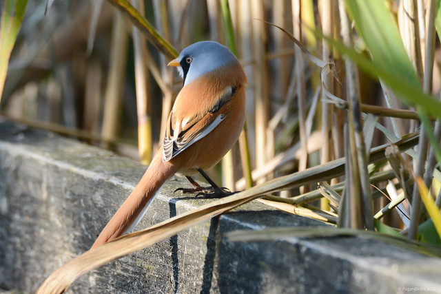 Bearded Reedling - Somerset