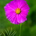Purple Cosmos Flower 3-0 F LR 10-9-20 J054