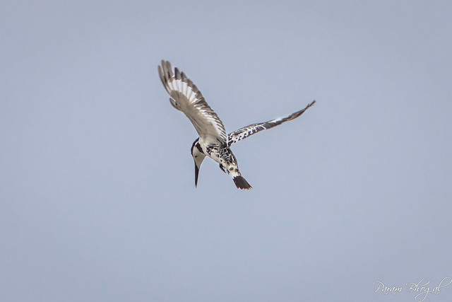 Pied Kingfisher - II (PB2_1130)