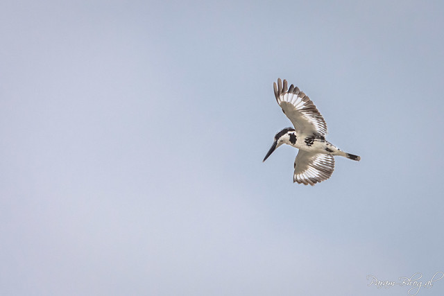 Pied Kingfisher - IV (PB2_1139)