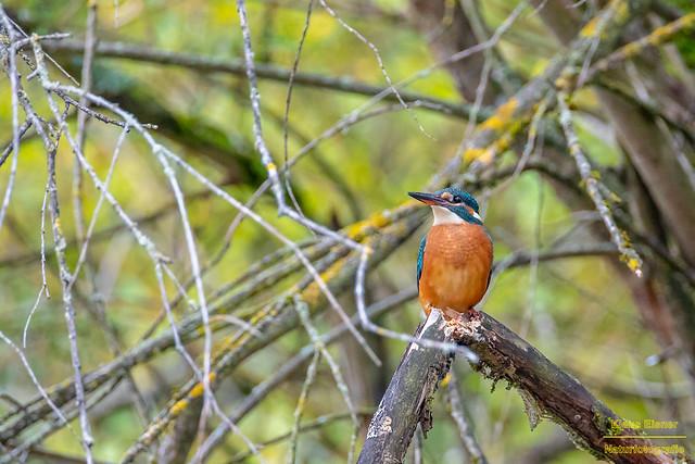 Eisvogel weibchen / Kingfisher female