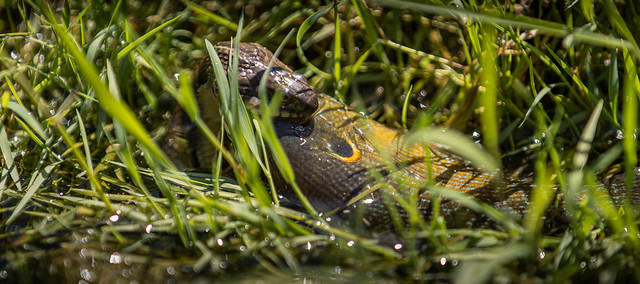 Northern water snake eating sunfish.