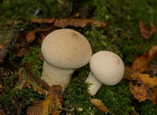 Common Puffball --- Lycoperdon perlatum