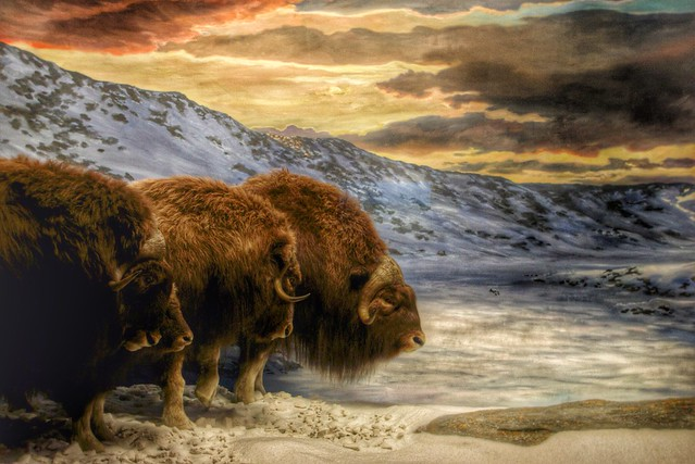 Ottawa Ontario  ~ Canada ~ Canadian Museum of Nature - Bisons