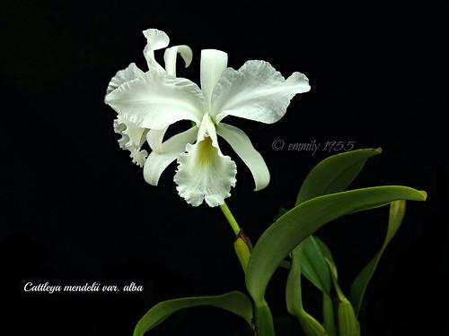 Cattleya mendelii var. alba ' Clayton '