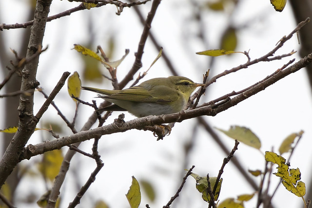 Wood Warbler / Grænsöngvari (Phylloscopus sibilatrix)