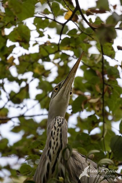 Junger Graureiher  //  young gray heron