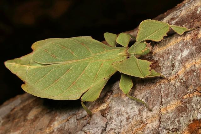 Leaf Insect, female (Phyllium sp. (celebicum group), Phylliidae, Phasmatodea)