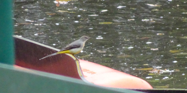 Grey wagtail by the river Dee, 2020 Oct 18 -- photo 2