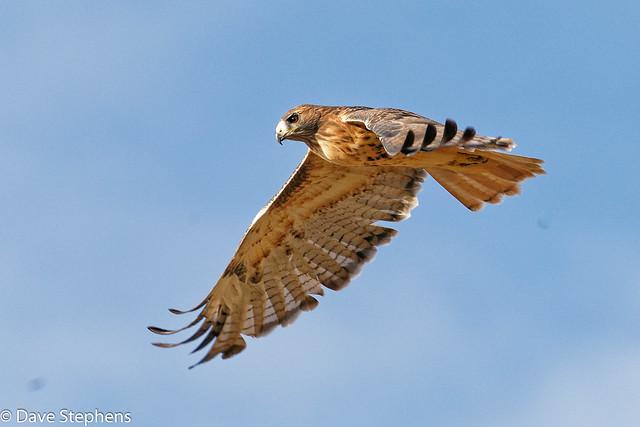 Red-tail Hawk Flies Close