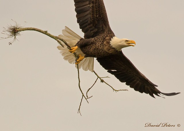 Bald Eagle with nest material