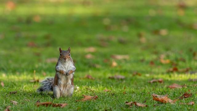 The Fox Squirrel