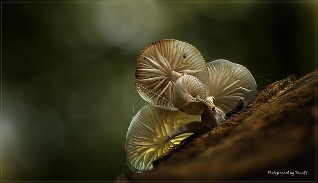 Pilz - Fungi - Mushrooms - Buchenschleimrübling (Mucidula mucida)