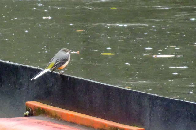 Grey wagtail by the river Dee, 2020 Oct 18 -- photo 1
