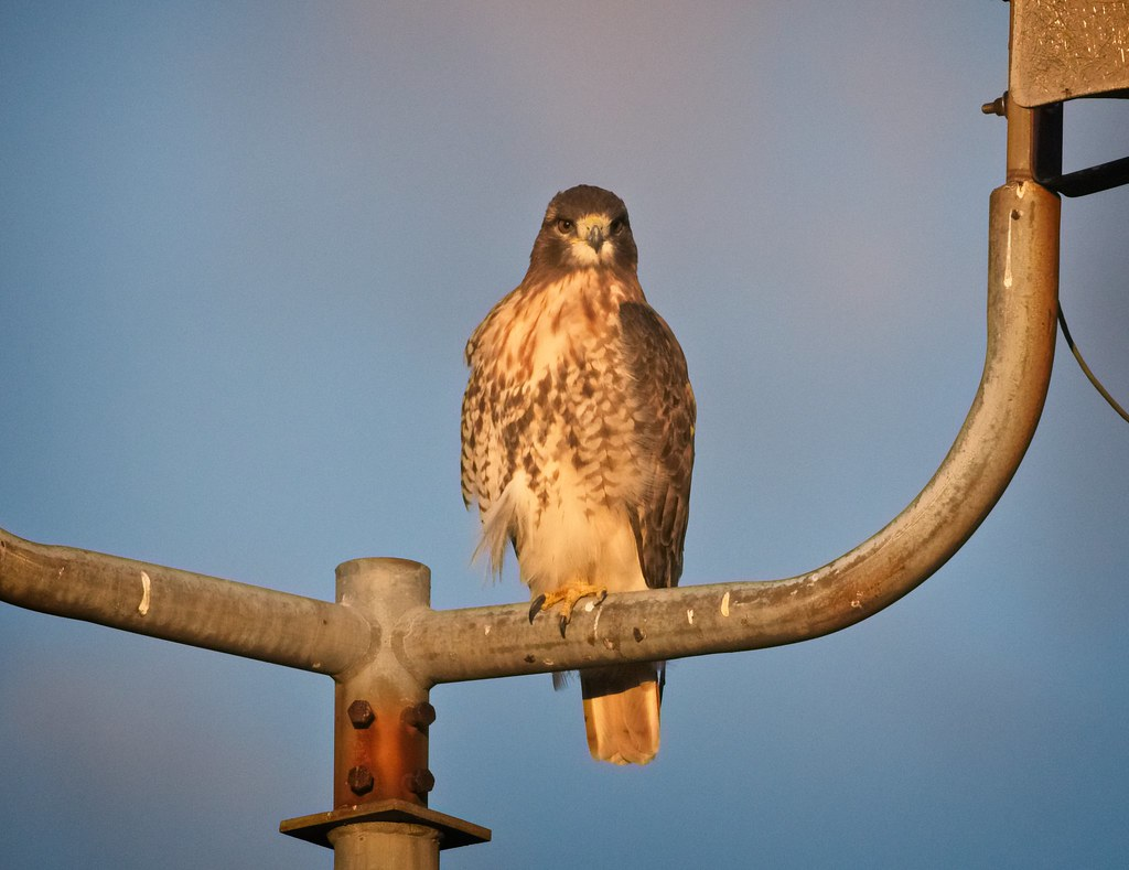 Red-tail on Governors Island