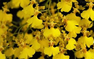 Coppensia flexuosa (Lodd.) Campacci