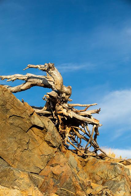 Whitebark Pine Stump