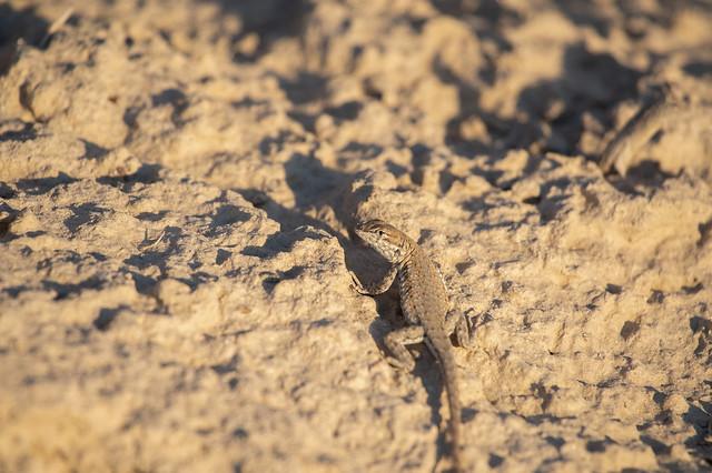 Side-blotched lizard(?)