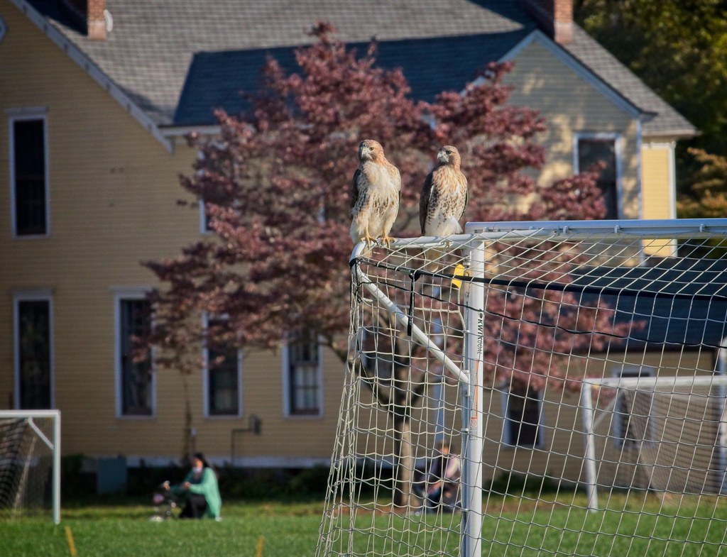 Female and male red-tails