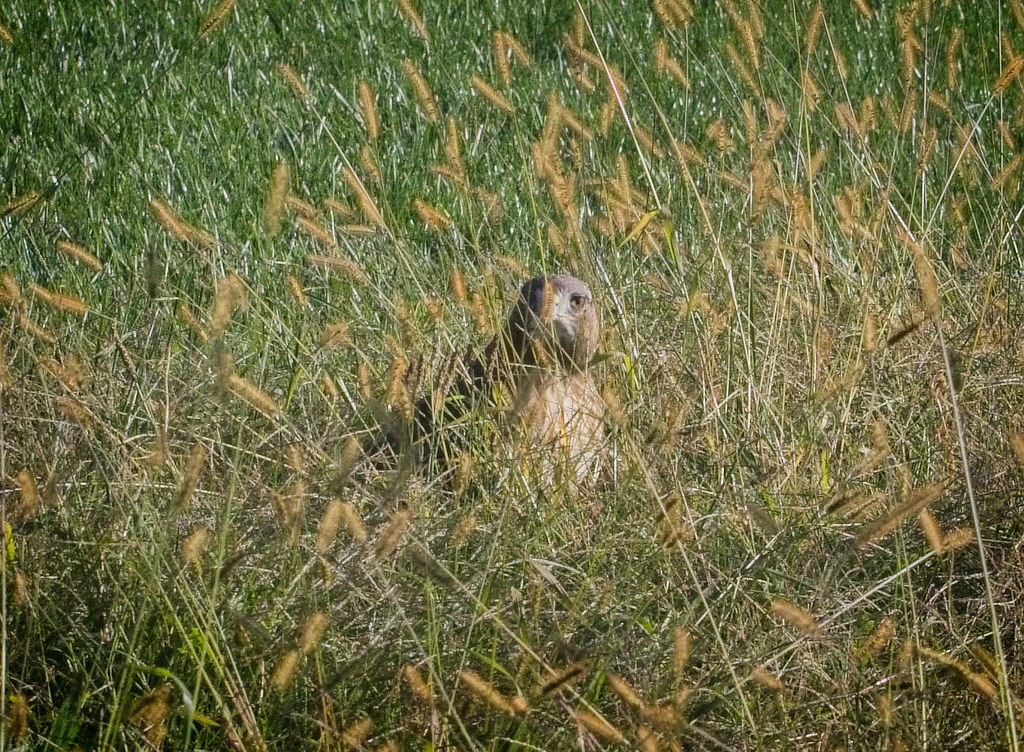Male red-tail in the grass