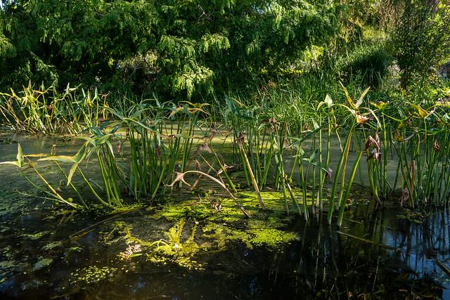 Potsdam, Freundschaftsinsel: Pfeilkraut in einem Becken der Wasserachse - Potsdam, Friendship Island: Arrowhead in a basin of the water axis
