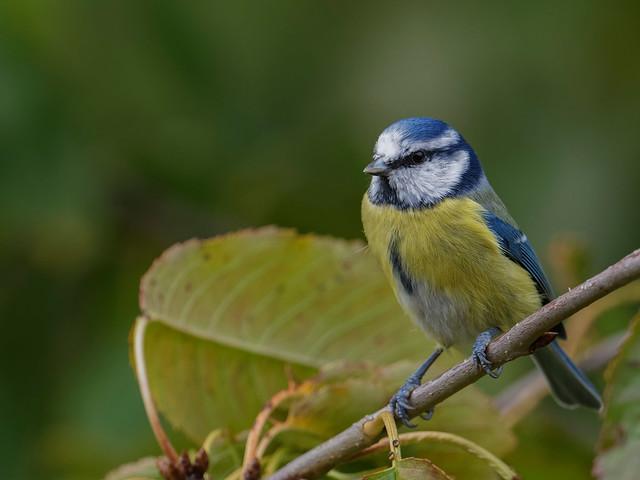 Mésange bleue 3 - Blue tit - Blaumeise - Parus caerulus