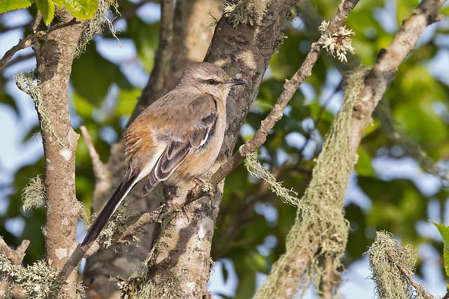 White-banded Mockingbird (Mimus triurus)