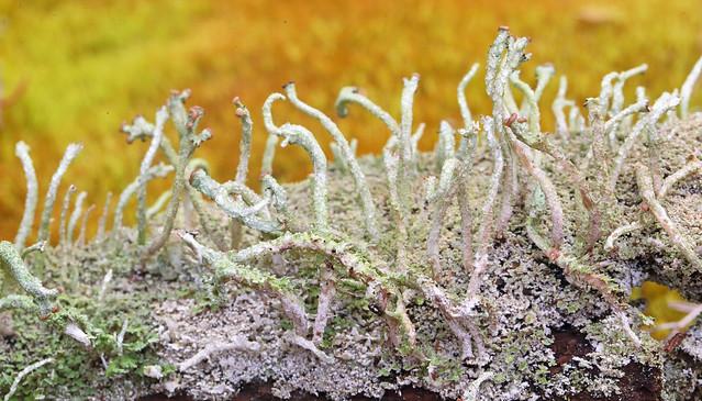 Powderhorn Lichen