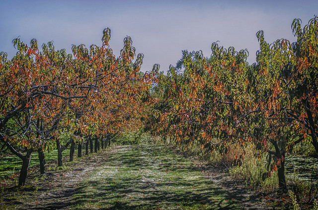 Autumn Peach Trees #1