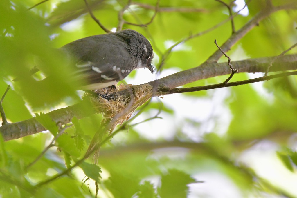 Grey Fantail ( this is going to be the new home )