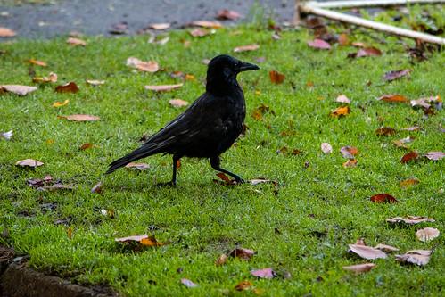 Bedraggled carrion crow, Bantock Park