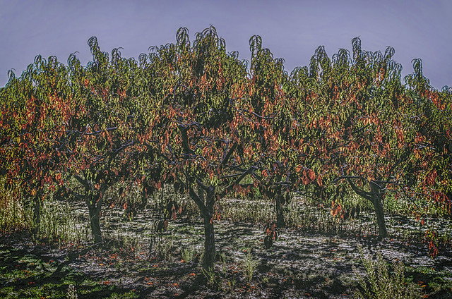 Autumn Peach Trees #2
