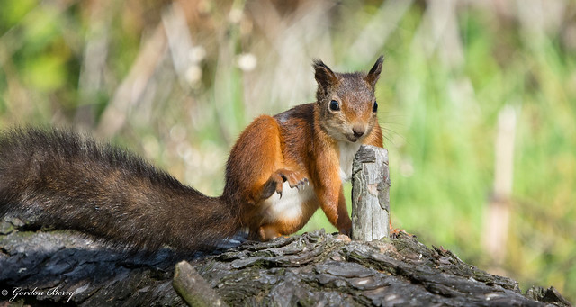 Red Squirrel 17-Sep-20_G _004